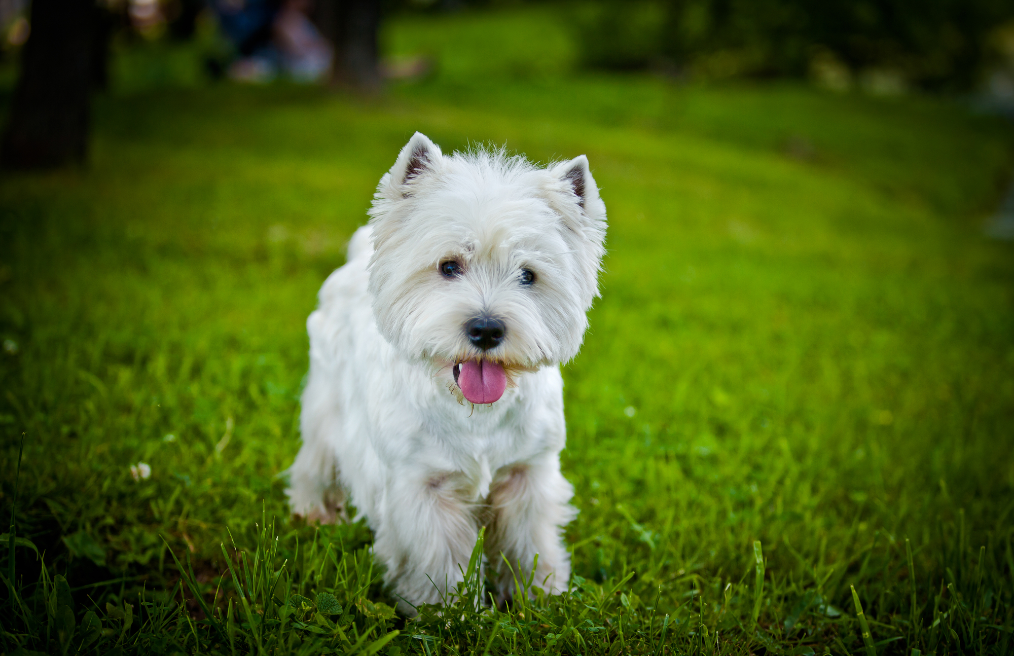 Best Food To Eat For Scottish Terriers