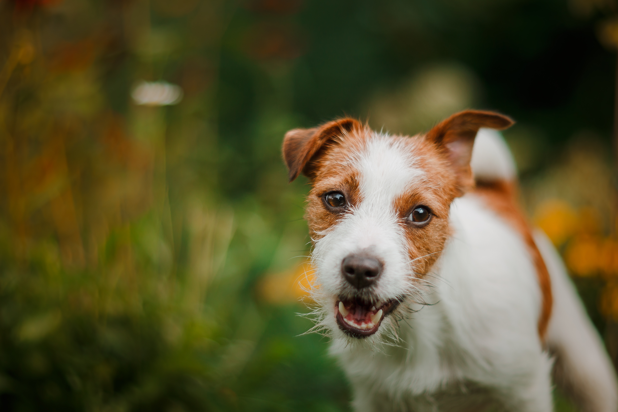 Best Dog Collars For Jack Russells