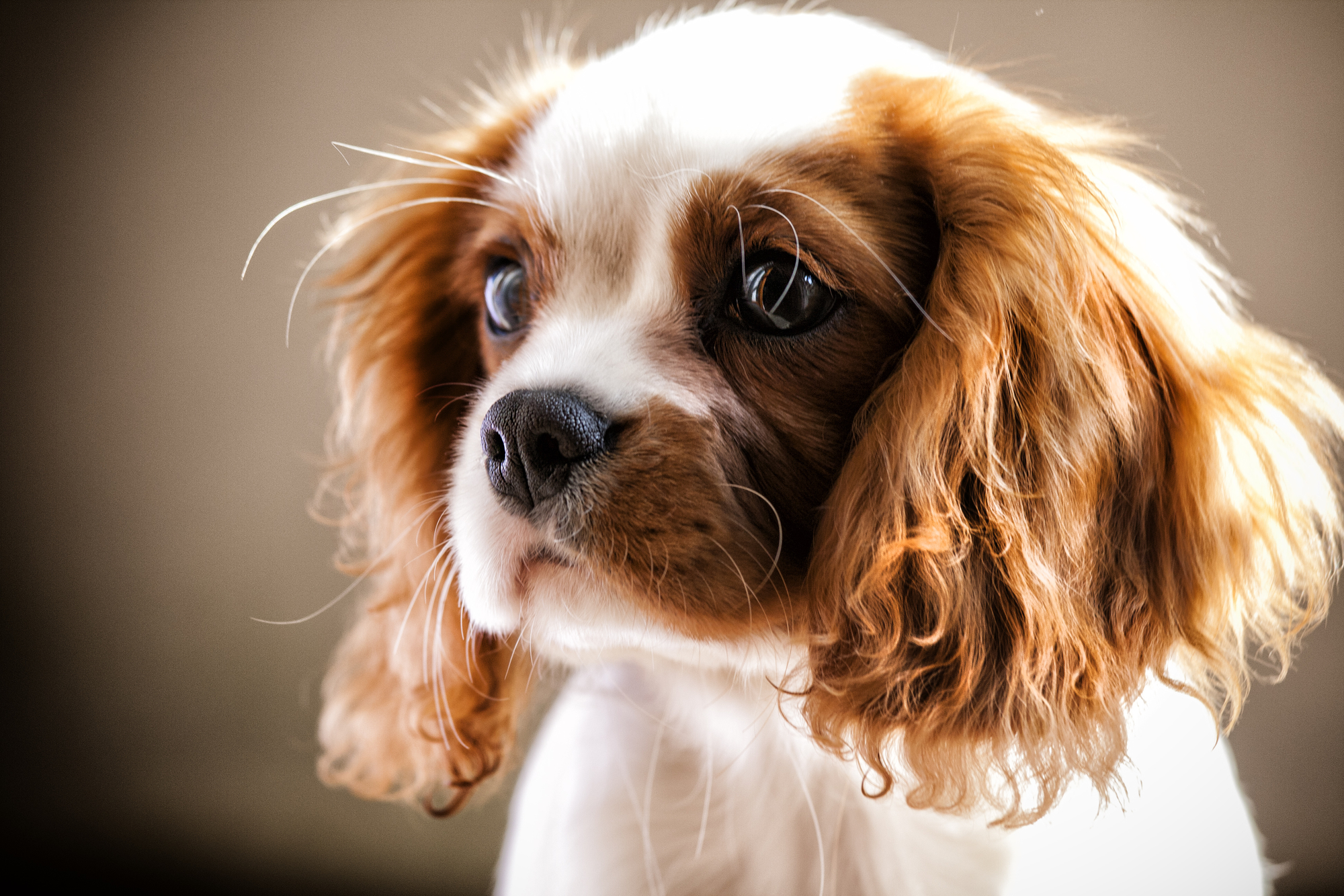 Best natural dog food for cavalier king charles spaniels barkspace what size crate for a cavalier king charles spaniel best dog crate and guidelines nvjuhfo Choice Image