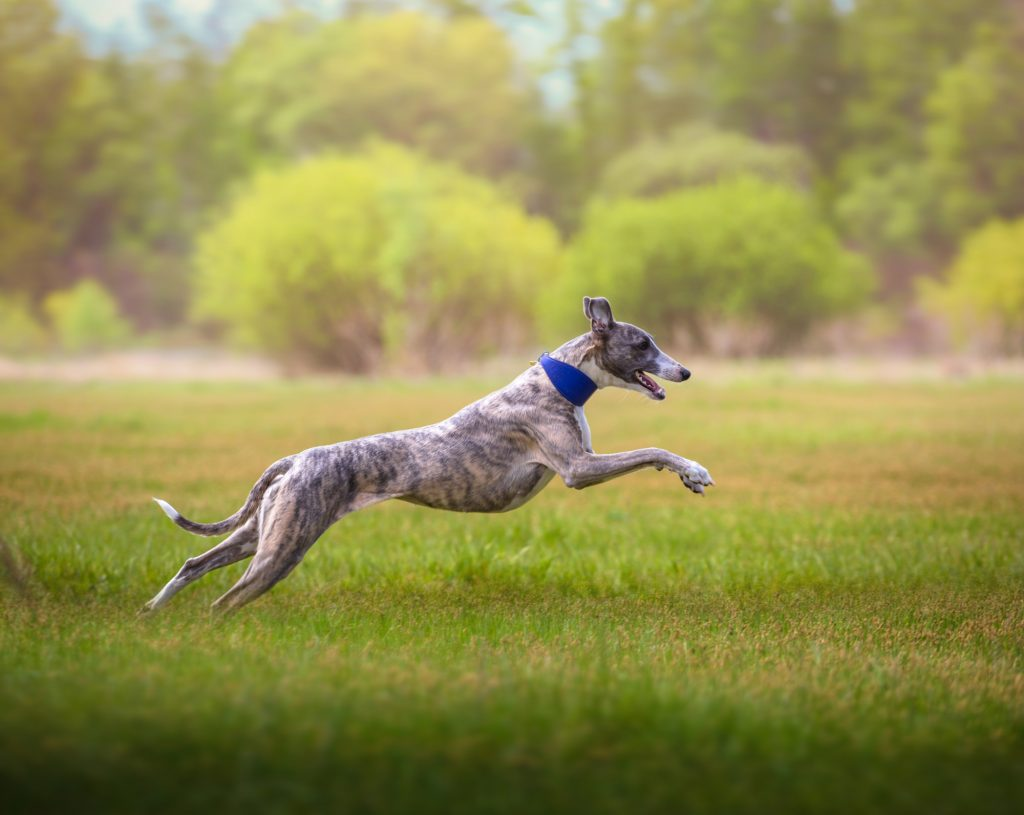 Best Dry Food For Whippet Puppies