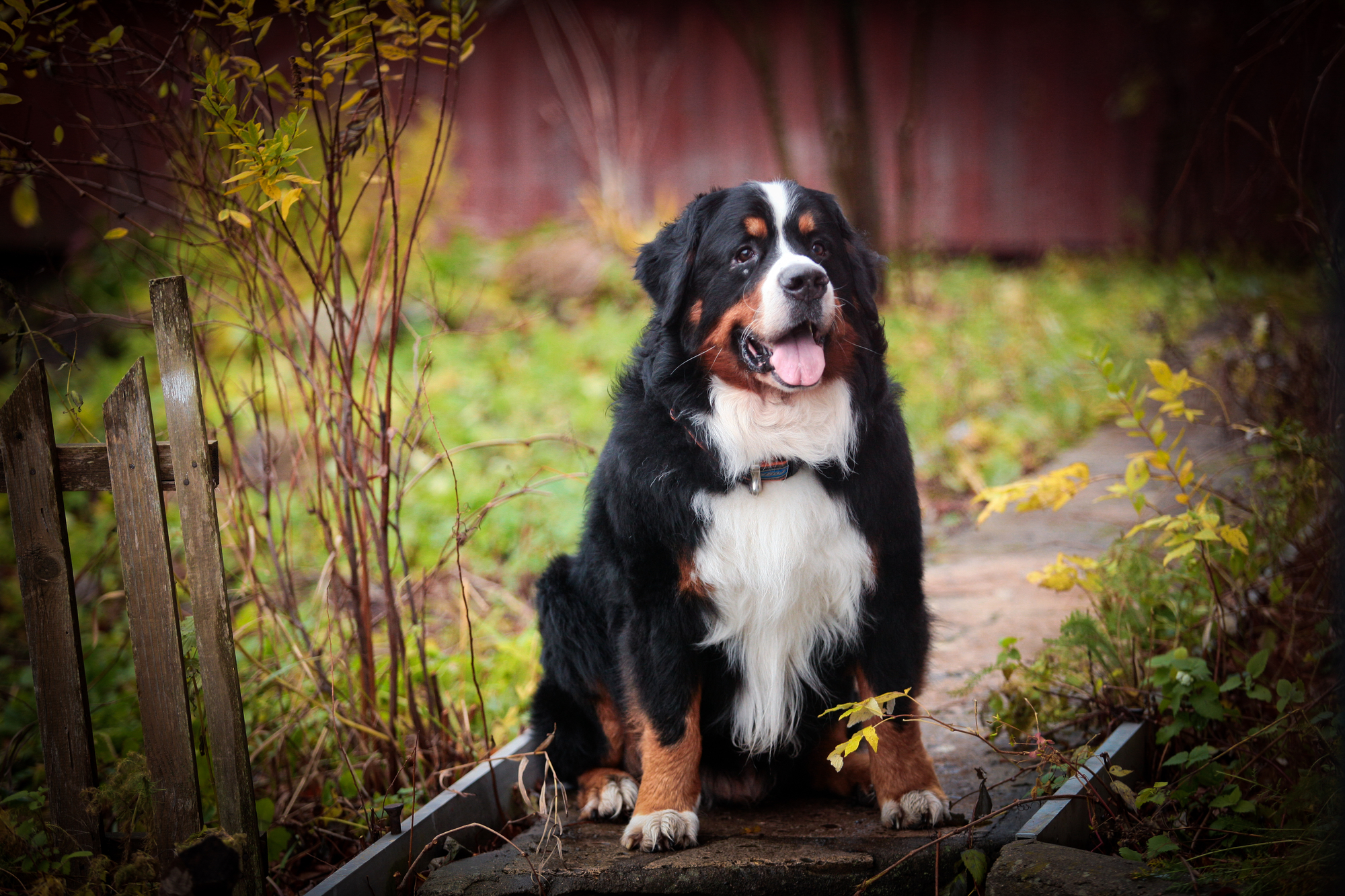 Tools To Groom A Bernese Mountain Dog