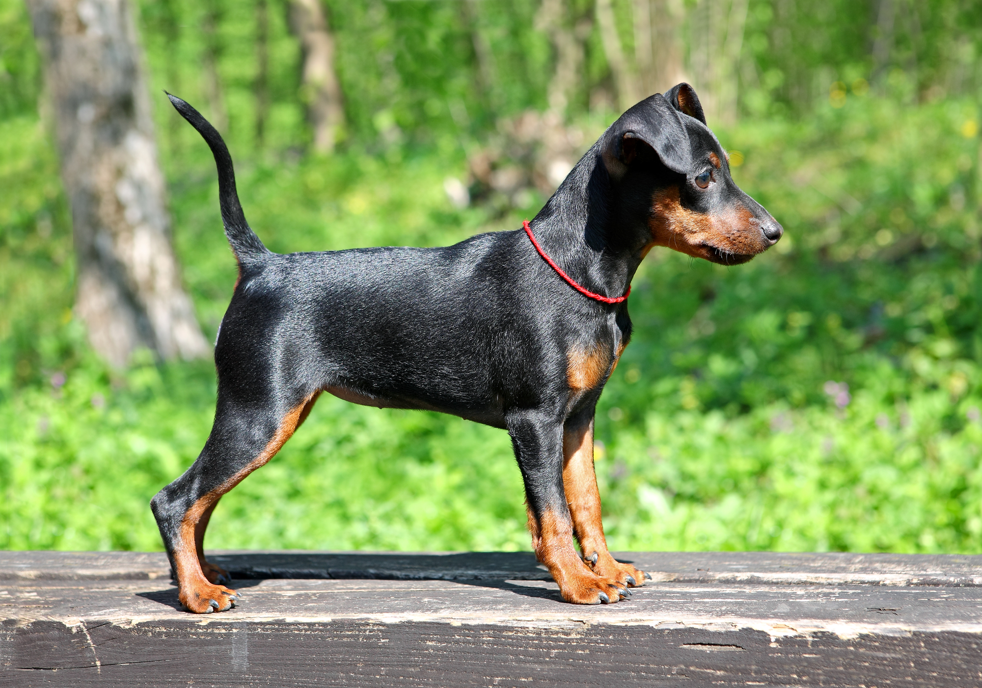 Best chew toys for Doberman puppies - BarkSpace