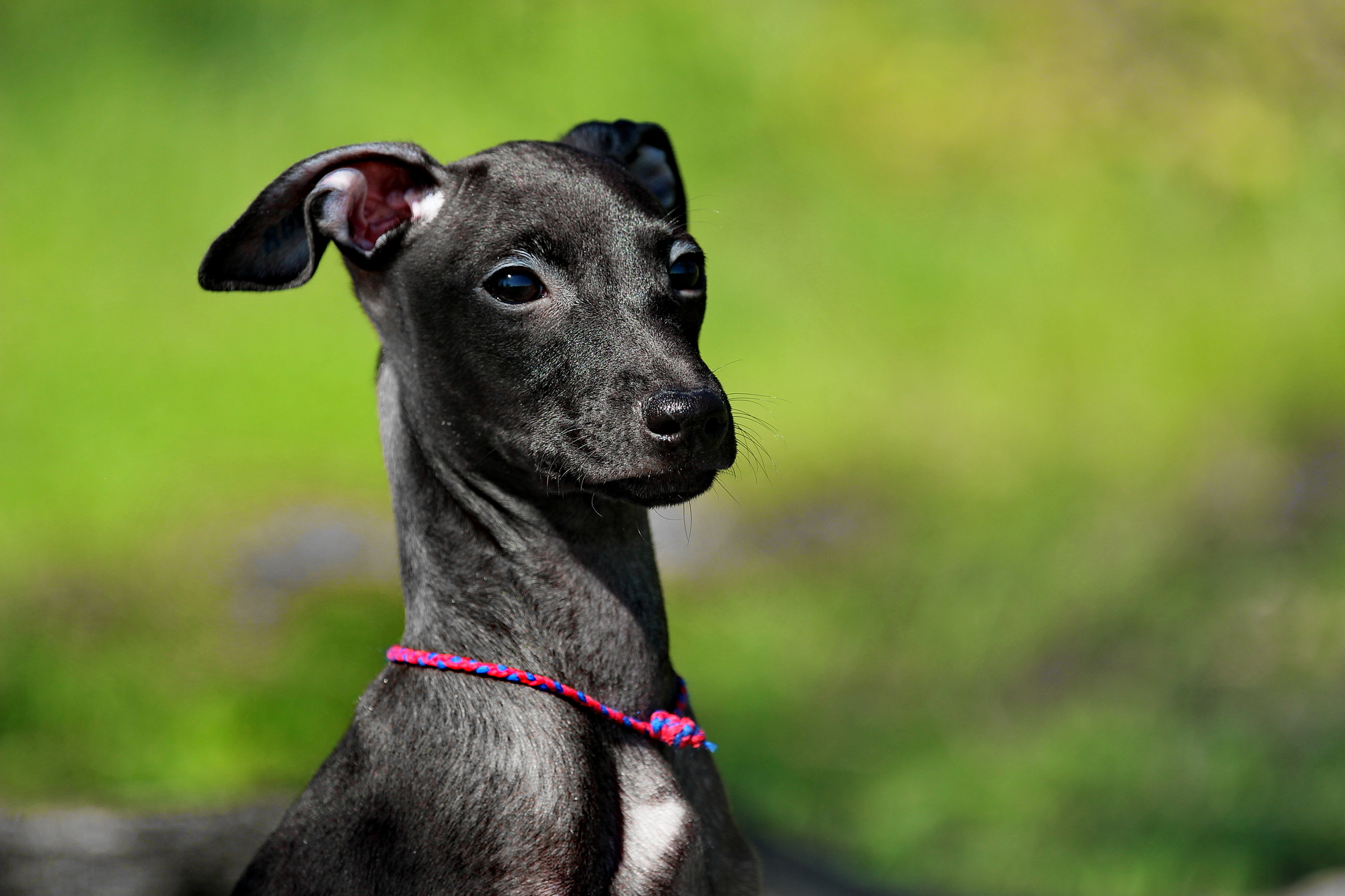 Depositphotos_114350734_l 2015 best harness for italian greyhounds barkspace