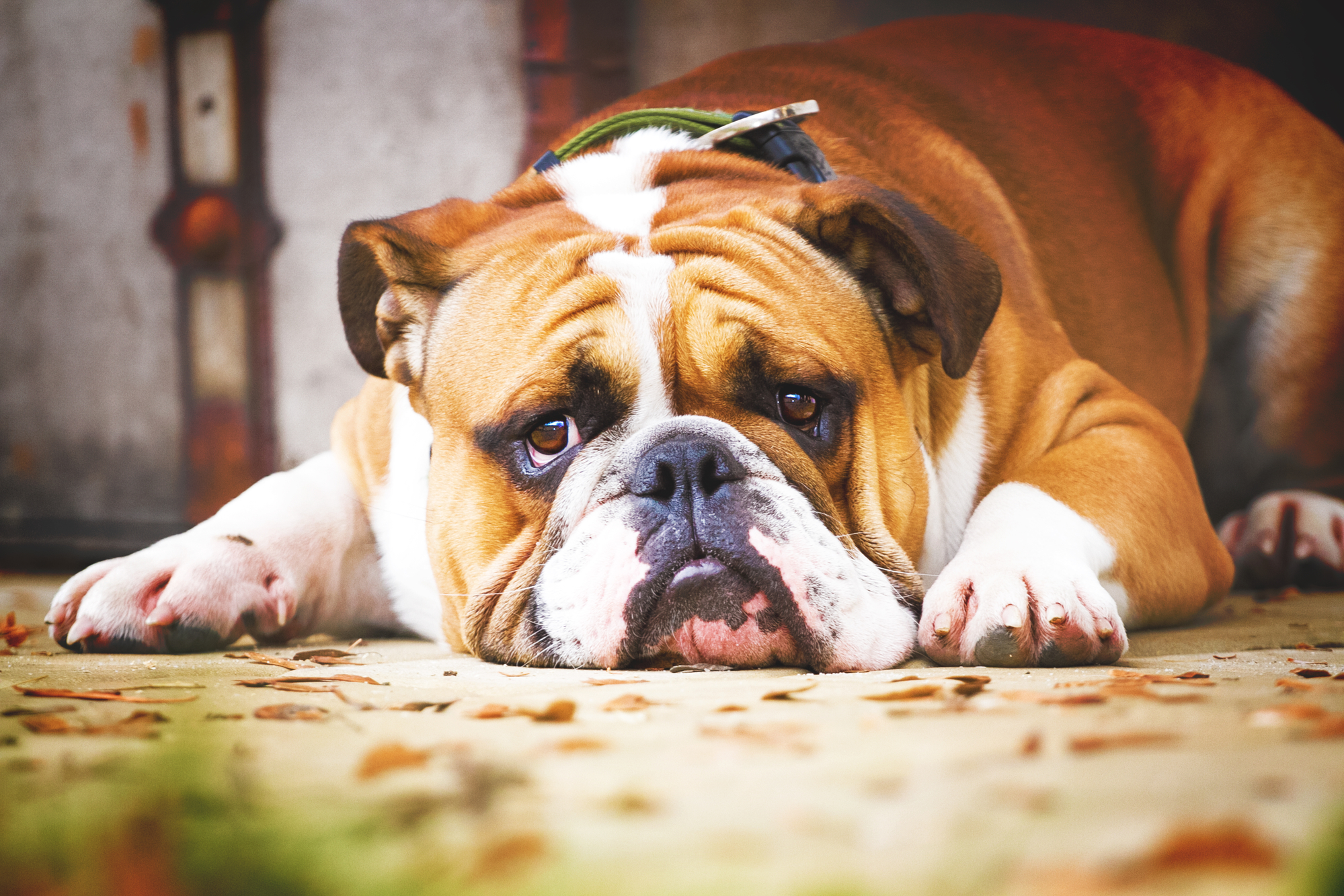 Best chew toys for English Bulldogs BarkSpace