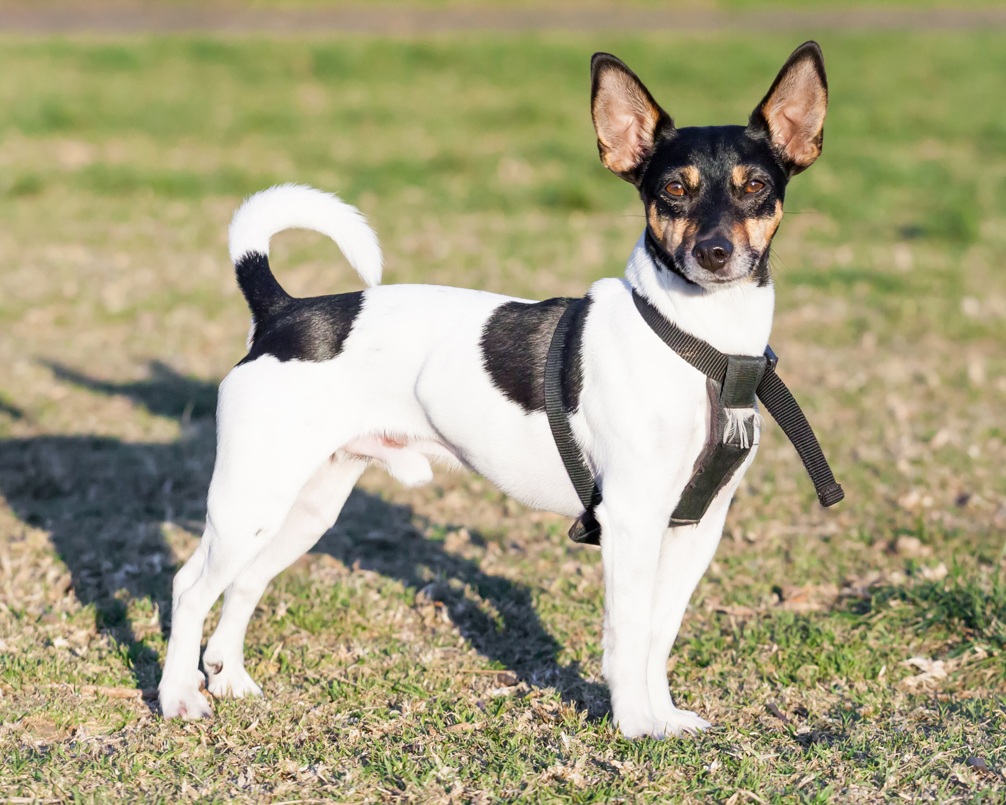 6 Of The Best Toys For Rat Terriers Chew Tug And Fetch Barkspace