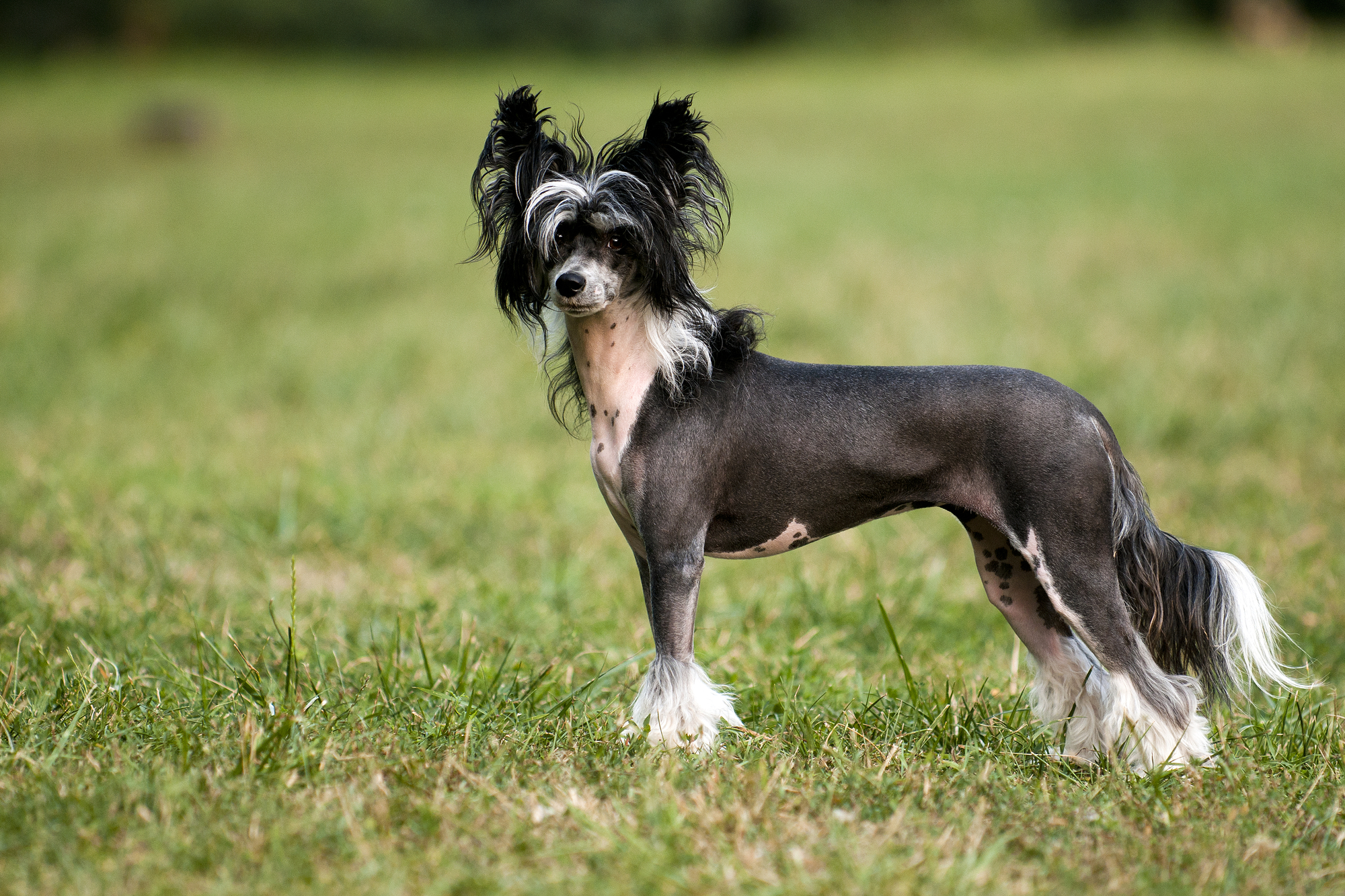 Best Collar For Chinese Crested Barkspace