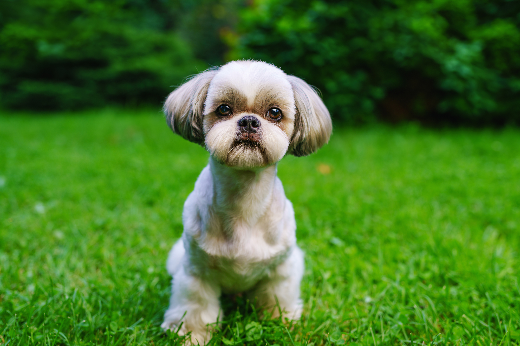 Shih Tzu Urinary Problems Signs Treatment Barkspace